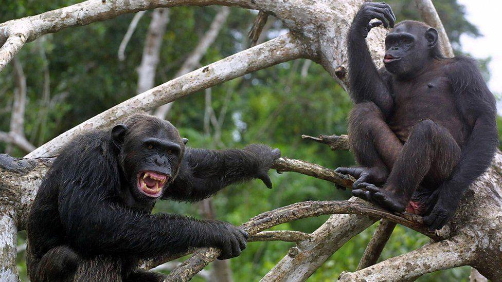 chimpancés gritando
