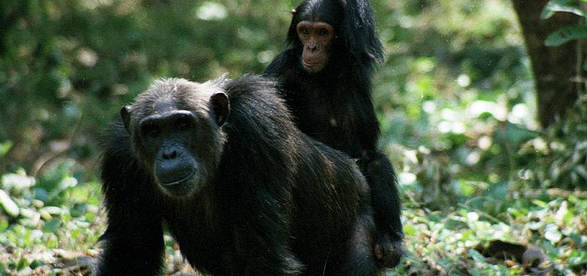 chimpancés con su cría